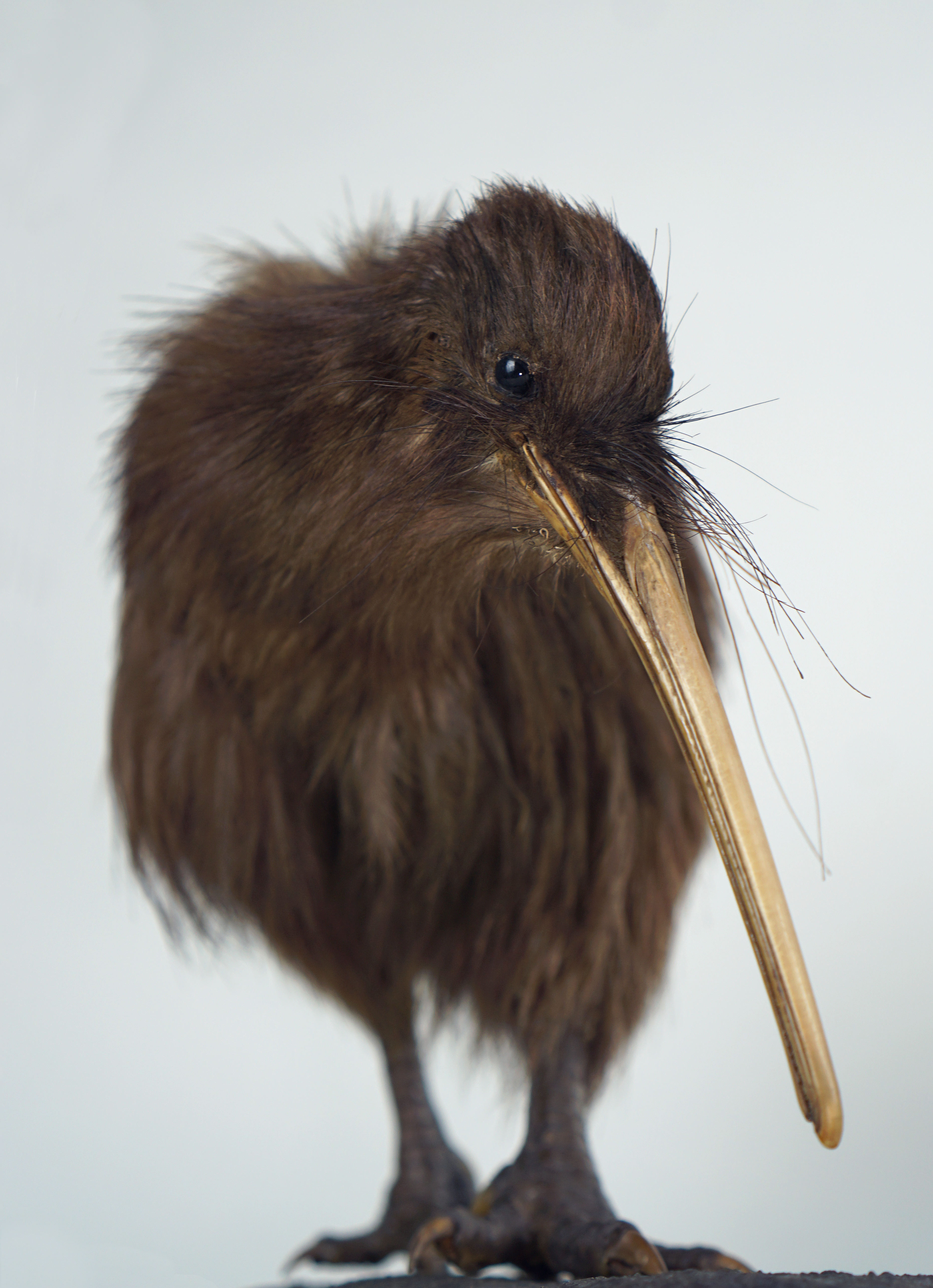 Brown kiwi bird scientific taxidermy