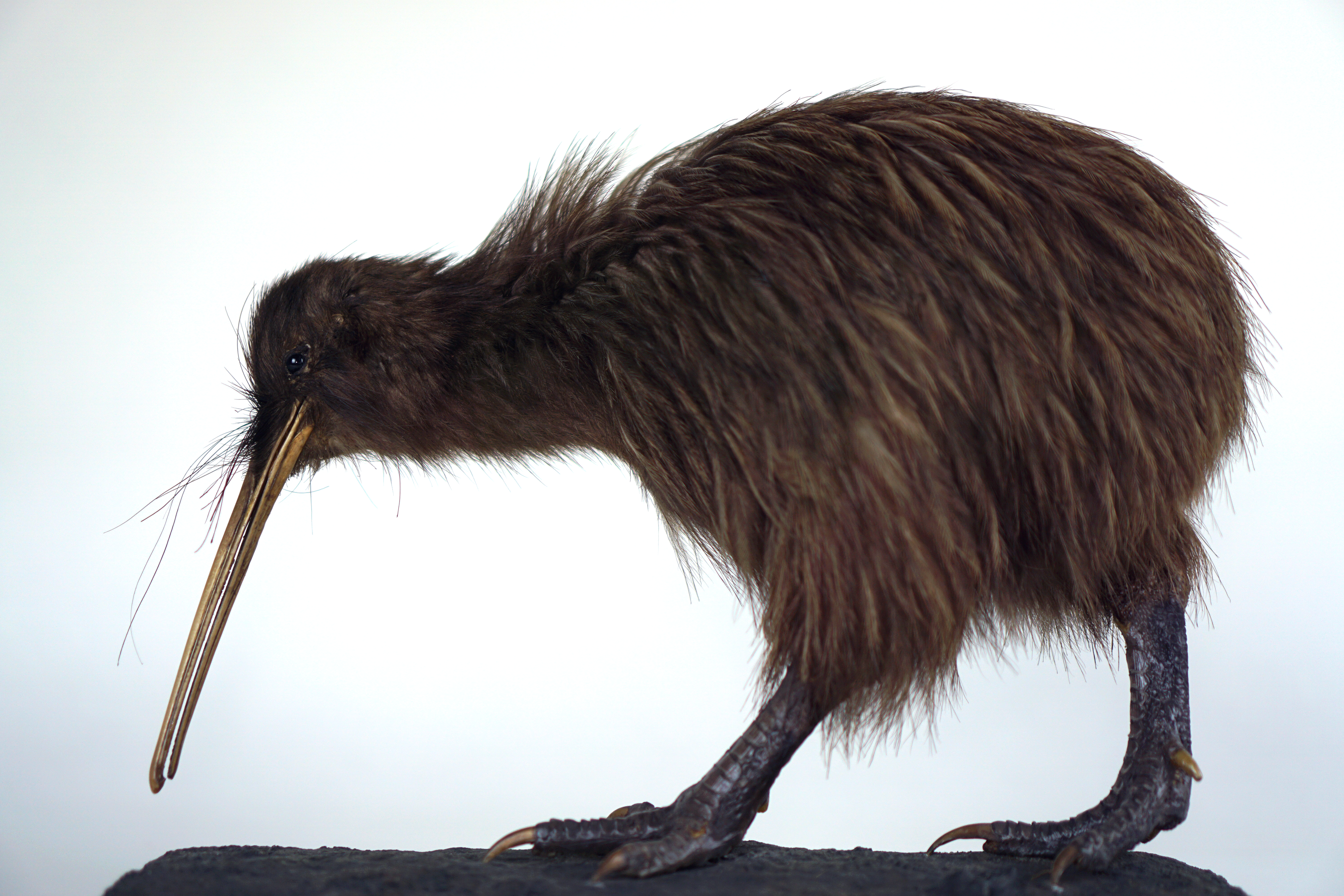 A taxidermy kiwi.